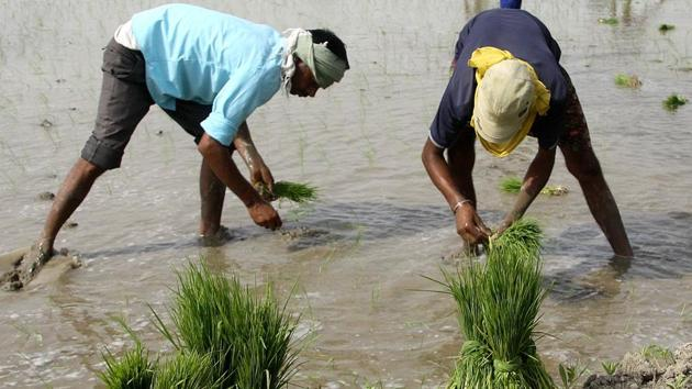 Scanty rains in Bihar and drought like situation in 280 blocks in the last kharif season has cast its adverse impact on paddy production, which has registered a record low in the last five years.(Manoj Dhaka/HindustanTime)