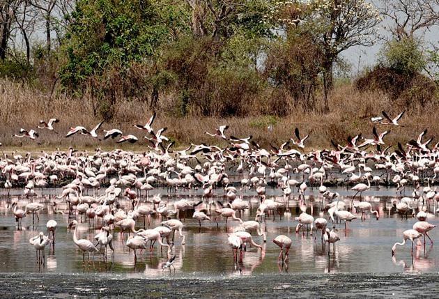 Flamingoes at a pond behind TS Chanakya wetland in Navi Mumbai.(HT FILE)