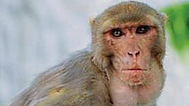 Feeling the pinch, residents of some areas where the population of monkeys has multiplied all of a sudden are now complaining about the loss that they suffer.(HT Photo)