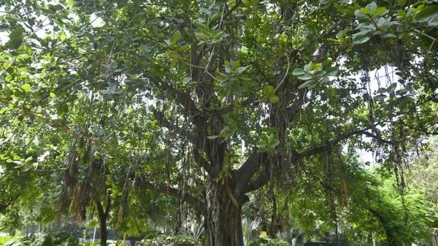 The heritage committee in a recent meeting took up the issue of conservation of these trees.(Sanchit Khanna/HT PHOTO / Representative image)