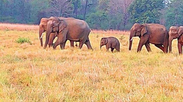 The Corbett Tiger Reserve is the main bastion of the tuskers in Uttarakhand.(HT Photo)