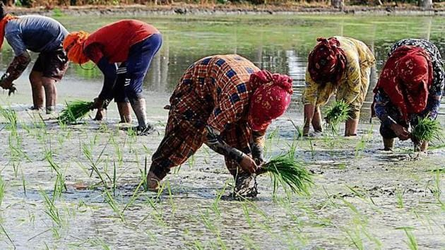 Farmhands planting paddy saplings at Bakshiwal village near Patiala on Wednesday. The state government has set June 13 as the official date for the sowing season.(Bharat Bhushan/HT File Photo)