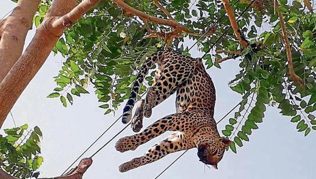 The leopard was first discovered by Satvir Singh, a resident of Lala Kherli, around 6.15am on Thursday, while he was walking to a nearby temple (where he is a caretaker), about a kilometre outside the settlement.(Manoj Kumar/ani)