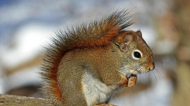 Vets used anaesthetic to calm the squirrel and then freed the animal (representational image).(Pixabay)