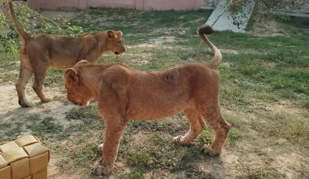 Two lion cubs at the Etawah lion safari.(HT PHOTO)