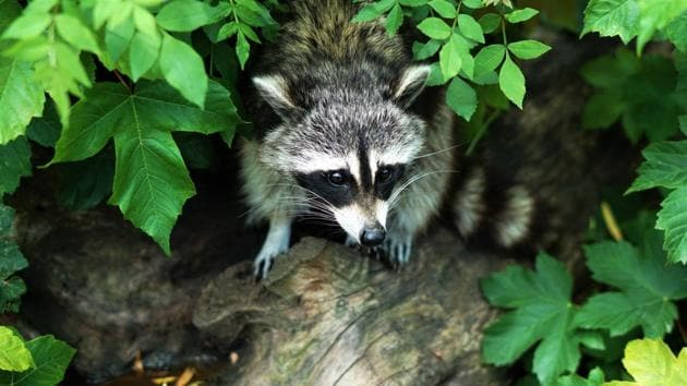 Spring River Park and Zoo staffers believe only the raccoon might have ventured into a visitor area.(Representational Image)