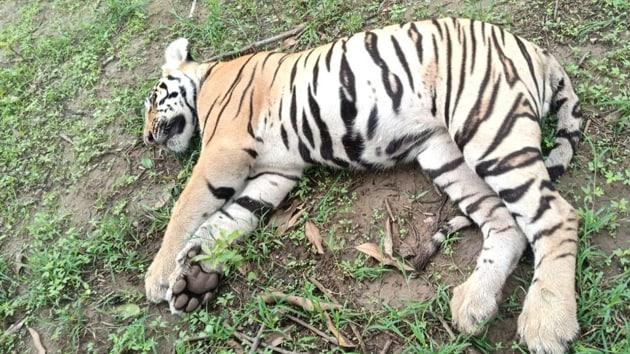 A tigress and two cubs were found dead near the Maharashtra's Tadoba Tiger Reserve, around 150 km from Nagpur. (HT Photo/Pradip Kumar Maitra)