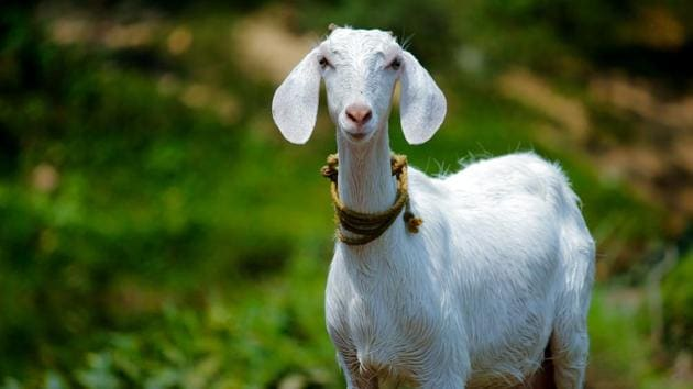 Goats bleat to reveal their emotions to friends.(Unsplash)