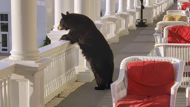 A black bear peers over a railing on the back veranda at the Omni Mount Washington Resort.(AP File Photo)