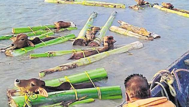 Smugglers are using floods in the river to devise a new method -- the heads of the bovines are placed between two banana tree trunks and bound together before they are pushed in the water from where the currents take them to the other side.(HT Photo)