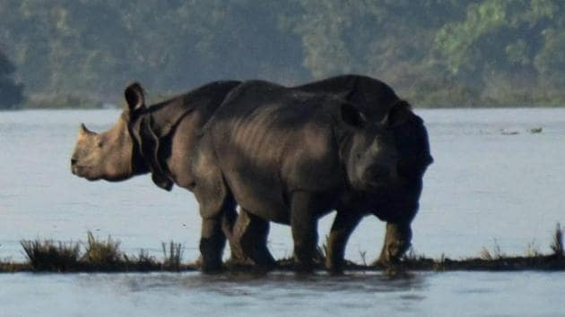 Kaziranga: Rhinos with their calves standing on an elevated land in the flooded Kaziranga National Park in Assam on Wednesday.(PTI photo)