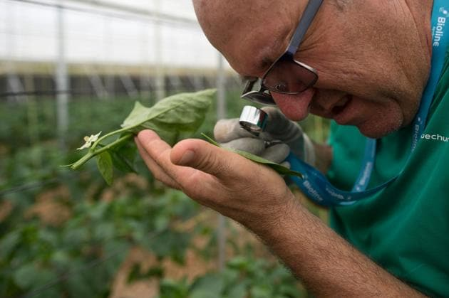 Spanish farmer Antonio Zamora works at his pepper plant's greenhouse in Dalias, near El Ejido on July 1, 2019. - For over a decade, Spanish farmer Antonio Zamora no longer puts on a suit to spray his crops with insecticides but instead hangs small bags of mites on his plants which attack parasites while sparing the plants. (Photo by JORGE GUERRERO / AFP)(AFP)