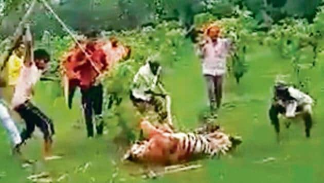 A video grab of the villagers attacking the tigress in Pilibhit Tiger Reserve.(Video grab)