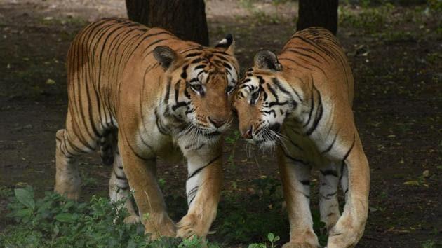 The last tiger census in 2014 estimated that there are 2,226 tigers in India. Karnataka led with 406; Madhya Pradesh had 308; Uttarakhand, 340; and Tamil Nadu had 229.(ANI Photo)