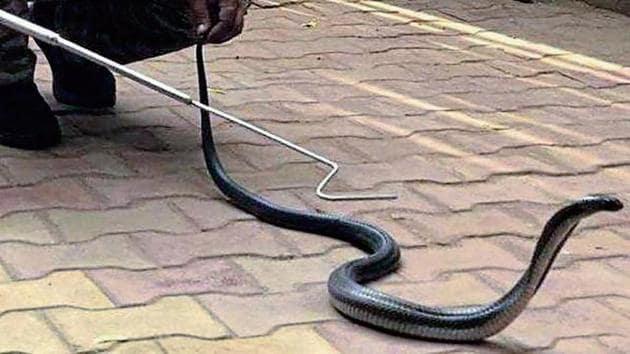 The cobra was found nestled inside a sofa.(SOURCED)