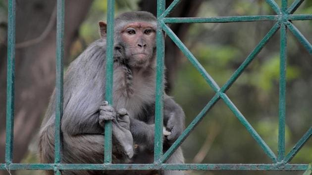Monkey menace is a routine affair in the streets of Agra. It recently took the life of a 55-year old.(Parveen Kumar/Hindustan Times)