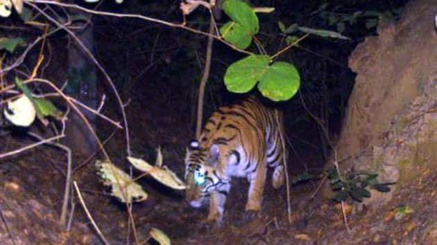 File photo showing the presence of tiger recorded in trap camera at Chipadohar under Palamu tiger reserve in February 2019.(HT Photo)