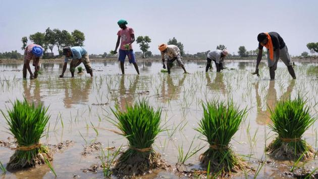 Workers plant paddy saplings in a field near Amritsar.(PTI Photo)