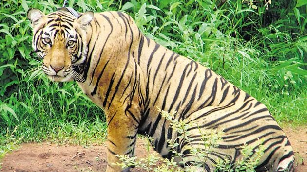 The Sariska Tiger reserve has lost four tigers and three cubs in the last 15 months.(AP Photo)