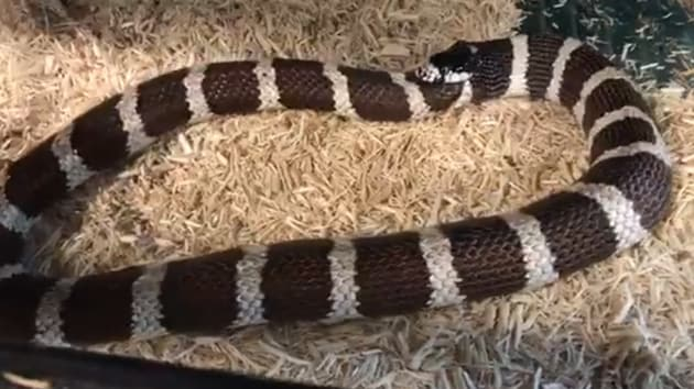 In the clip, Rothacker explains that kingsnakes eat other snakes and are often seen biting themselves. (Screengrab)(Facebook/Forgotten Friend Reptile Sanctuary)