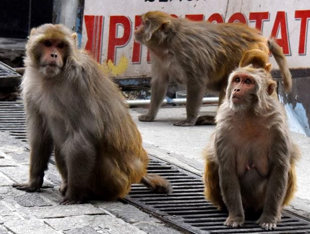 Forest department tells court that as many as 95 monkeys had been caught since 2018.(HT PHOTO)