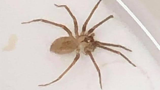 The creature was later identified as a brown recluse spider.(Twitter/@IAMYAGOJONES)