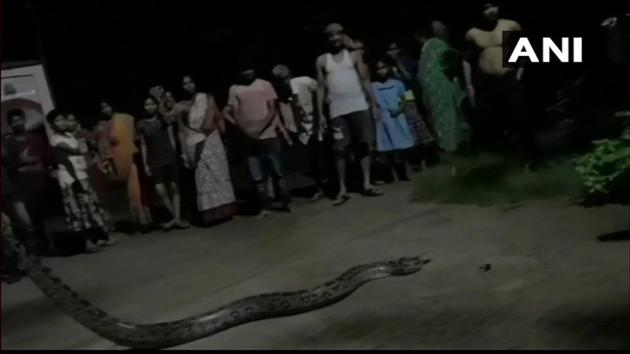 The python, weighing nearly 20 kg, was rescued by Snake Helpline member Tapan Prusty on August 26.(Twitter/ANI)
