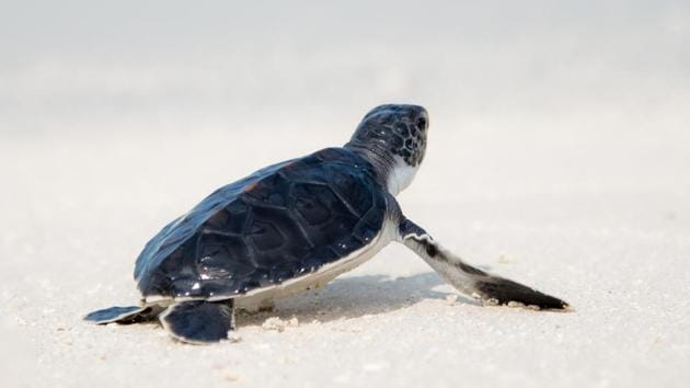 The lifeguards saving the turtle was captured on camera (representational image).(Unsplash)