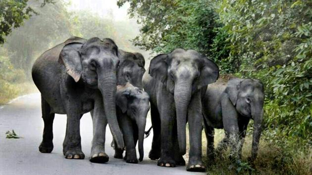 With the number of elephants getting electrocuted and run over by trains and trucks increasing, Odisha government has decided to launch a scheme, Gajabandhu, for their safety and protection.(HT File Photo (Representative image))