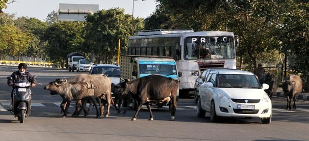 Last year, the Mohali civic body caught only 200 stray animals.
