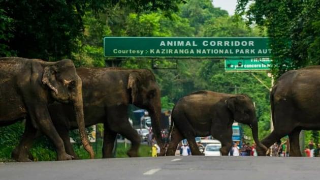 A herd of wild elephants crossing National Highway 37 at Kaziranga in Assam.(HT PHOTO)