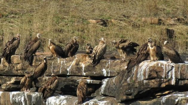 Winter has been chosen to release the griffon vultures since they start arriving in the winter months.(HT PHOTO.)