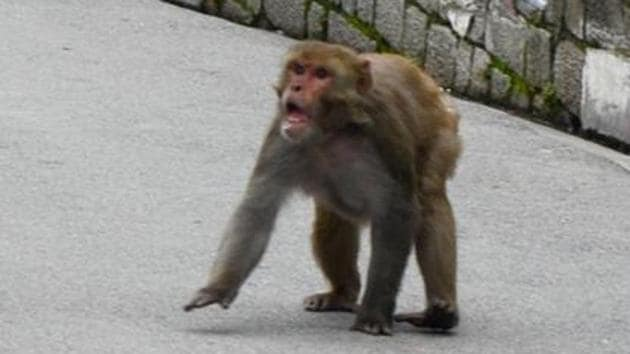 BJP MP Rakesh Sinha has been bitten by a monkey. Here in this file picture, an angry monkey is charging towards passersby.(HT FILE)