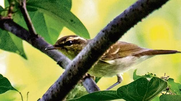 The bird was spotted on two earlier occasions too but birders could not photograph it.(HT image)