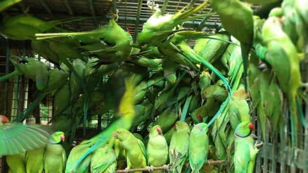 Five hundred and twenty four parakeets, trapped in 11 cages, were seized from Bengal's East Burdwan district(Photo courtesy Wildlife Crime Control Bureau)