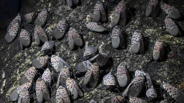 Lanternfly gather on a tree in Kutztown.(AP)