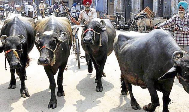 Presently, 257 dairies — with approximately 6,000 milch animals — are operating within the city limits, says mayor Sanjeev Sharma Bittu.(HT FILE)