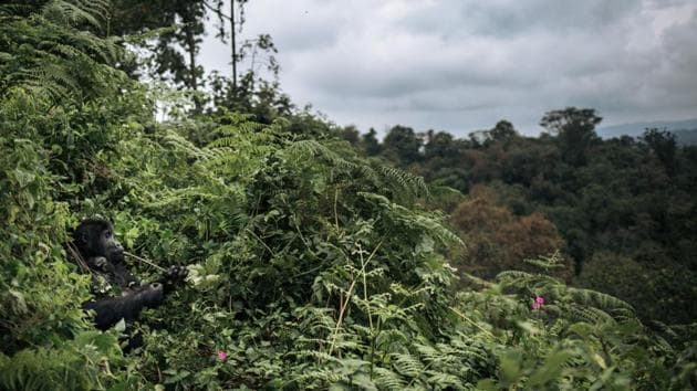 Their home is a haven in the province of South Kivu -- a battleground for rival militias for a quarter of a century. But these gorillas also face an emerging threat from a conflict with local Pygmies, who claim that they were robbed of ancestral lands when the park was extended in the 1970s. Last year, Pygmies began to move onto land inside the park's perimeter and started to cut down trees, mainly to make charcoal. (Alexis Huguet / AFP)