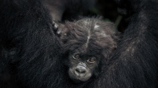 But the conflict and the chopping down of trees affect the showcase region of the park: its higher ground that is home to gorillas accessible to the well-heeled visitors, who typically number about 2,000 a year. The front line is scarcely an hour's drive from the capital Bukavu, located in a densely populated region like everywhere on the shores of Lake Kivu. The demographic pressure is all the way to threatened land in the park. (Alexis Huguet / AFP)