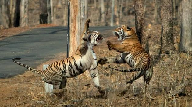 Anil Kumble shared images of confrontation between Maya and another tigress on Twitter.(Twitter/Anil Kumble)