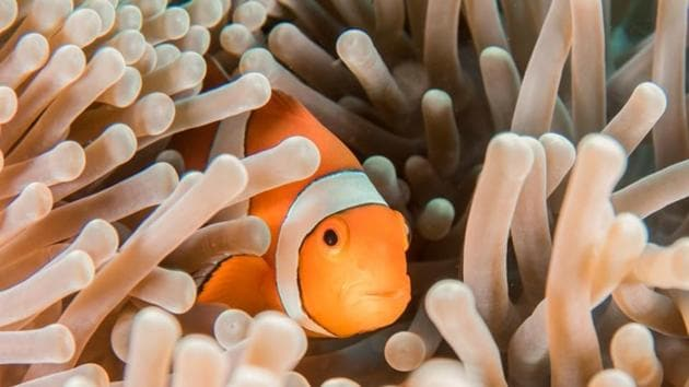 The long-term survival of clownfish -- made famous by the Hollywood movie Finding Nemo -- depends more on the sea anemone neighbourhood they live in than on their own genes.(UNSPLASH)