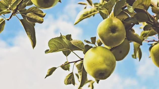 North America once had 17,000 named varieties of domesticated apples, but only about 4,000 remain.(Unsplash)