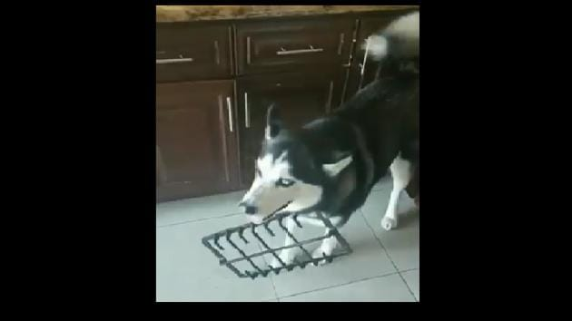 The mischievous pooch shows no regret as it keeps yawning and pretending not to know anything that is happening around.(Twitter)