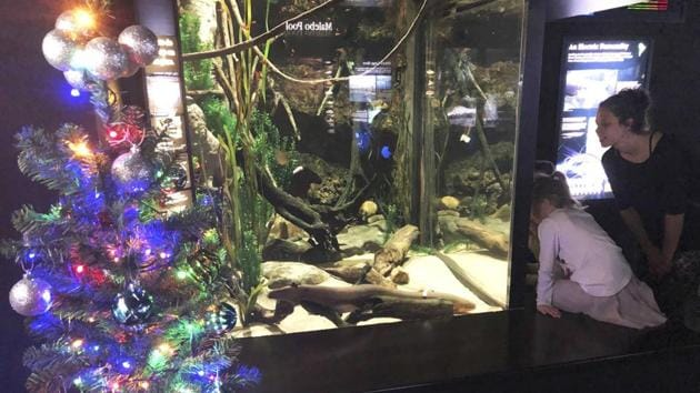 An electric eel named Miguel Wattson lights up a Christmas tree at the Tennessee Aquarium in Chattanooga.(AP)