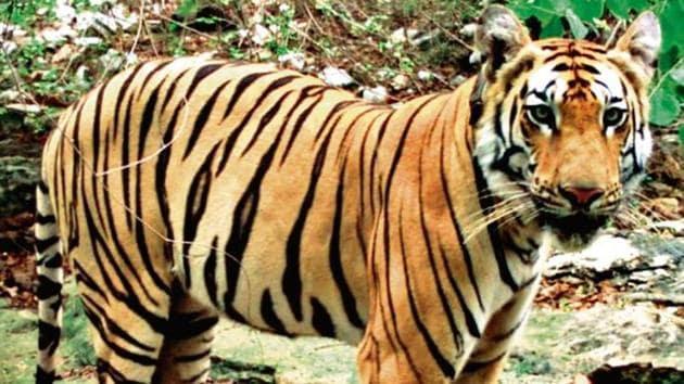 Three-year-old male sub-adult tiger (T1-C1).(ANI Photo)