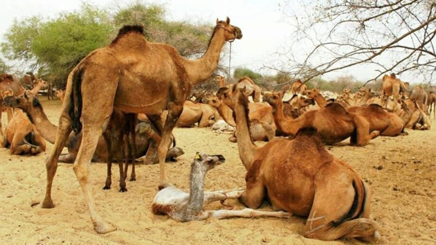 The planned killing of the camels comes at a time Australia is ravaged by wildfires since November.(HT File / Photo used for representational purpose only)