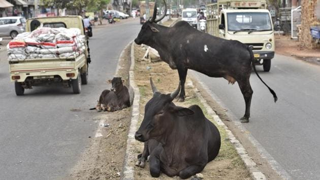 Hundreds of stray cattle are seen roaming on roads in Ludhiana.(HT File photo)