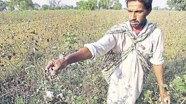 In four districts of Maharashtra, close to 90% of the cotton grown belongs to the illegal HtBT variety.(Reuters File Photo/Representative Image)