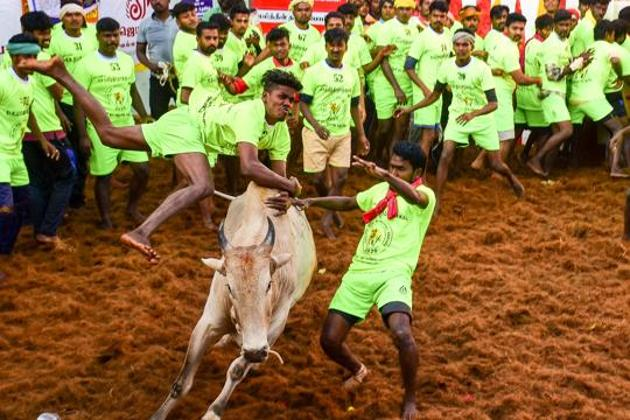 File photo: Participants attempt to tame a bull during Jallikattu in Madurai.(PTI)