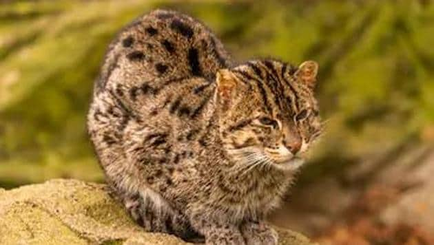 The footage of the fishing cat, the state animal of West Bengal, was captured by a close circuit television camera installed in a house at Kanaigram in Konnagar. (Image used for representation).(SHUTTERSTOCK.)